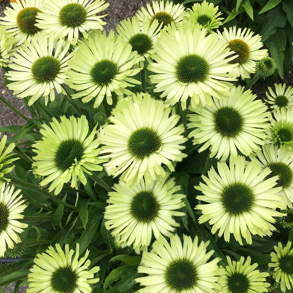 Spring Hill Nurseries Green Jewel Coneflower Echinacea Live Bareroot Plant Light Flowering Perennial 1 Pack