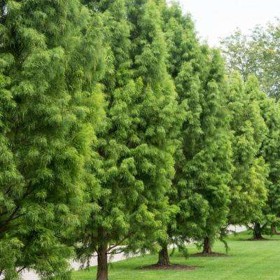 Green Foliage Dawn Redwood (Metasequoia) Tree Live Bareroot Tree (1-Pack)