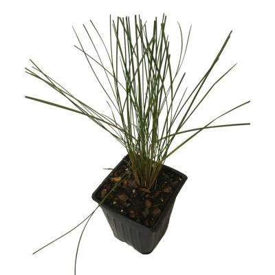 4 in. Pot Pink Muhly Grass Plant