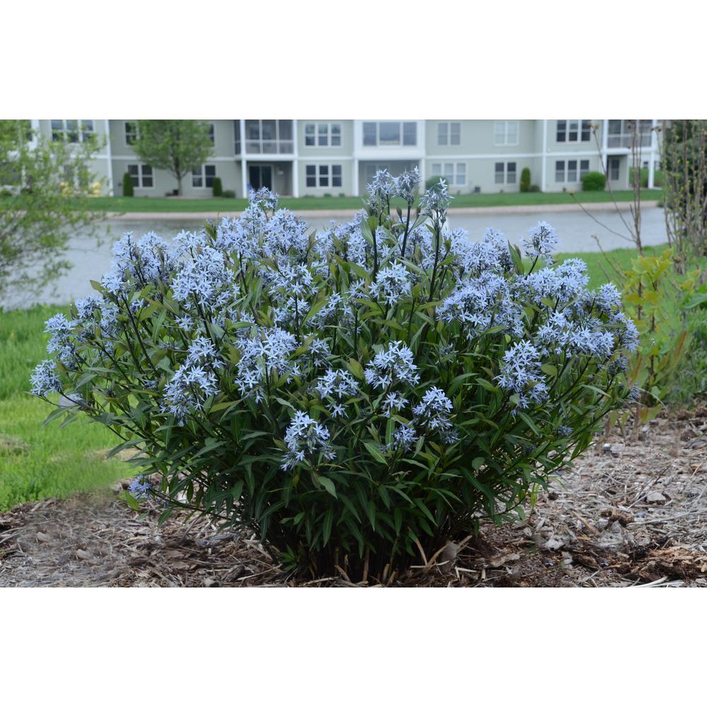Part sun blue perennials garden plants flowers the home depot storm cloud bluestar amsonia live plant blue flowers 1 gal mightylinksfo