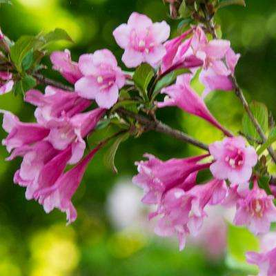 60 in shrubs trees bushes the home depot java red weigela live bareroot plant red flowers on maroon foliage shrub 1 mightylinksfo