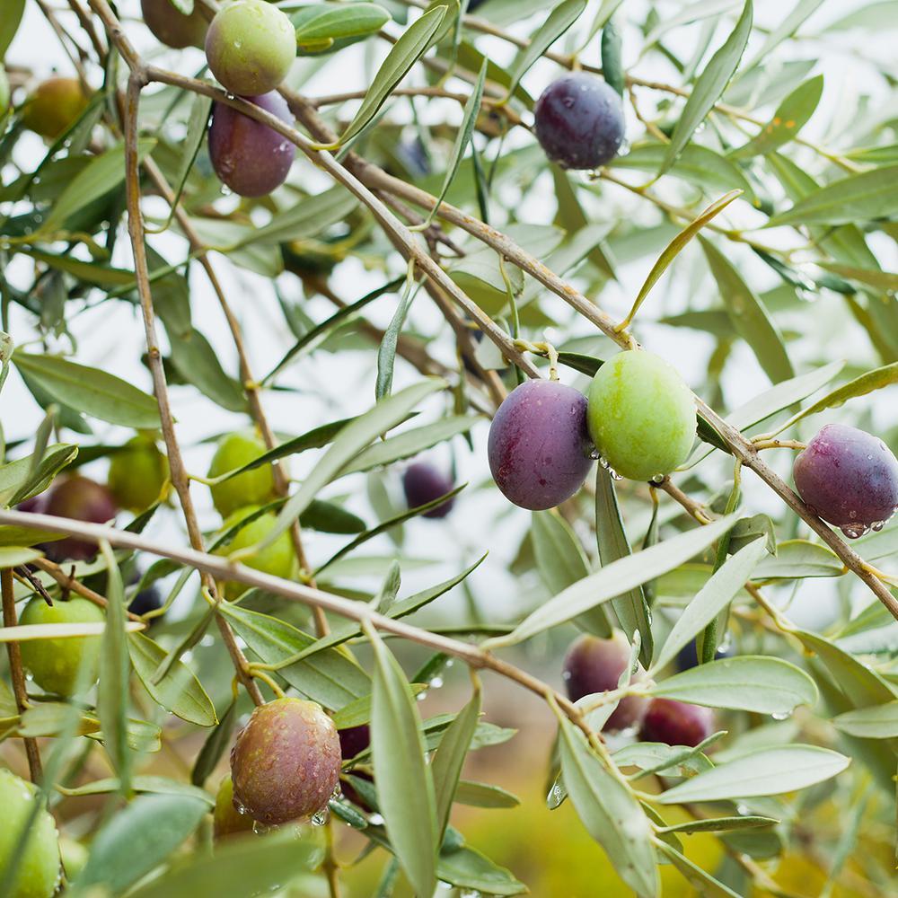 Mission Olive Tree (1-Plant)