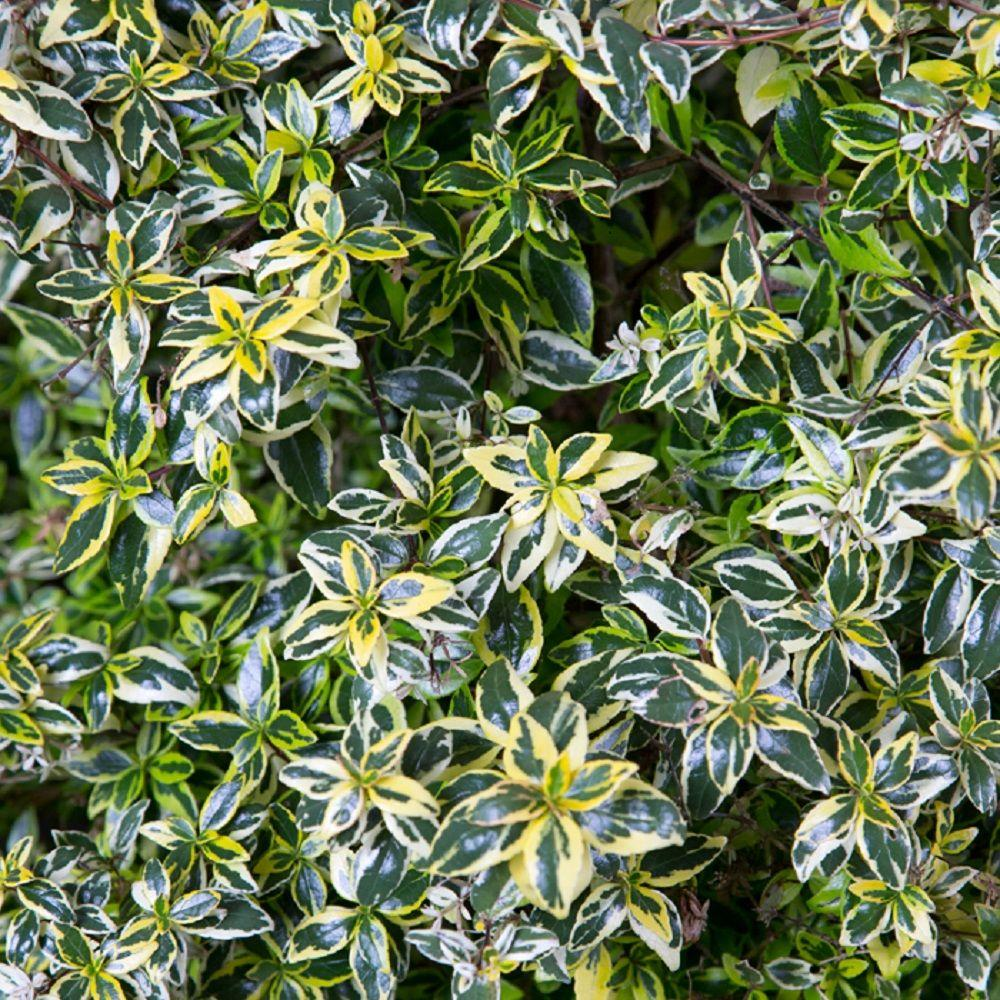Southern Living Plant Collection 2 Gal. Miss Lemon Abelia With Light Pink Flowers, Live Semi-Evergreen Shrub Plant
