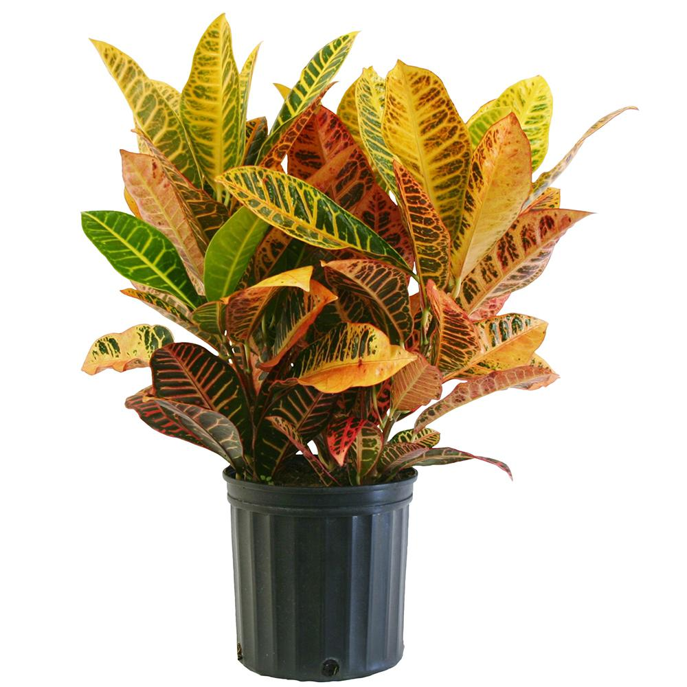 Delray Plants Croton Petra in 8-3/4 in. Pot