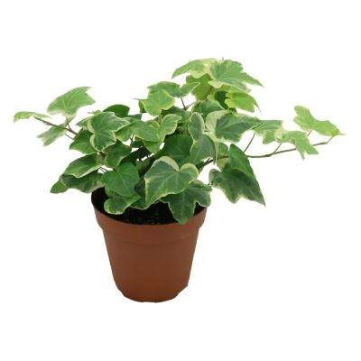 Hedera Ivy in 4 in. Pot