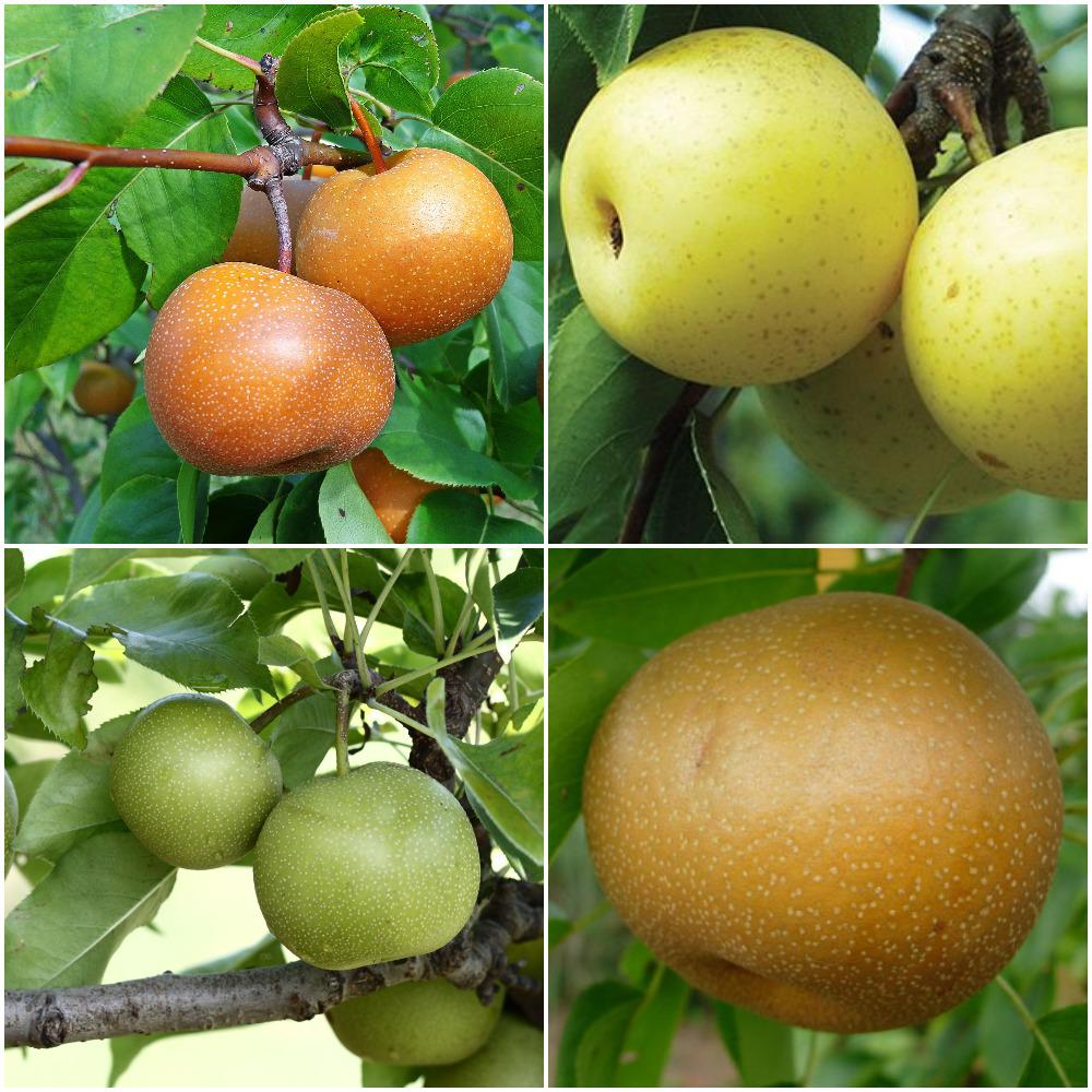 Accept. The asian pear fruit tree were not