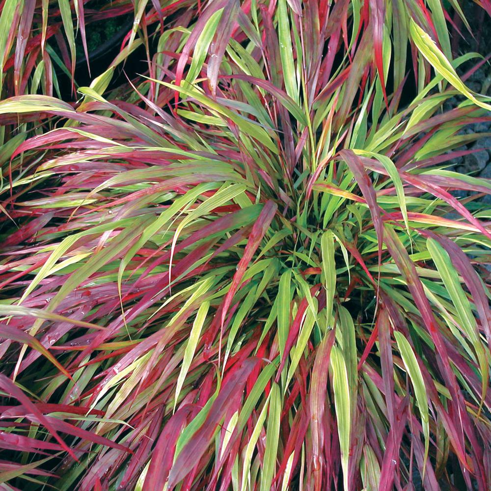 Ornamental Grasses - Plants & Garden Flowers - The Home Depot