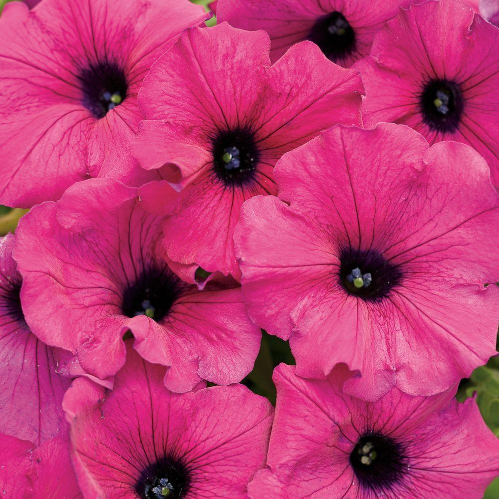 Proven Winners Supertunia Royal Magenta Petunia Live Plant Pink
