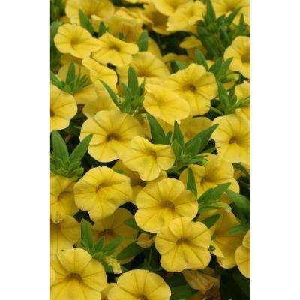 Superbells Yellow(Calibrachoa) Live Plant, Yellow Flowers, 4.25 in. Grande
