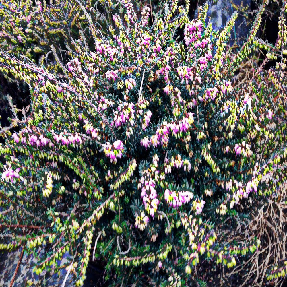 OnlinePlantCenter 2 gal. Mediterranean Pink Winter Heath Shrub