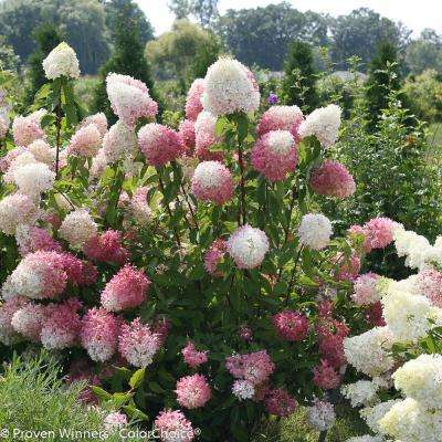 1 Gal. Zinfin Doll Hardy Hydrangea (Paniculata) Live Shrub, Pink and White Flowers