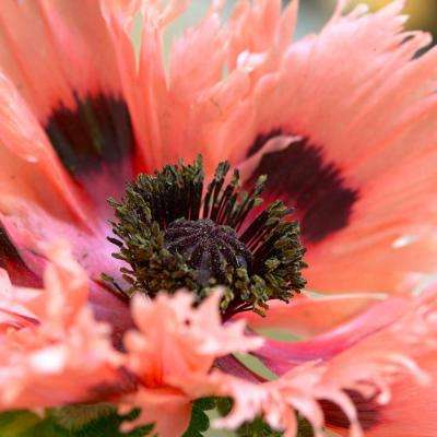 Full sun poppies garden plants flowers garden center the poppies pink ruffles roots 5 pack mightylinksfo