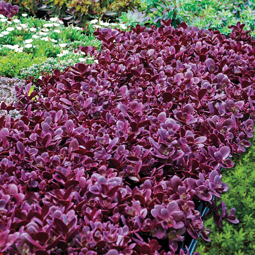 Pot Fireer Sedum Live Perennial Plant Groundcover With Pink Flowers Red Foliage