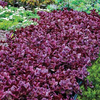 3 in. Pot Firecracker Sedum Live Perennial Plant Groundcover with Pink Flowers with Red Foliage