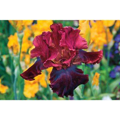 Medici Prince Bearded Iris Dark Deep-Red Flowers Live Bareroot Plant