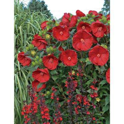 Summerific Cranberry Crush Rose Mallow (Hibiscus) Live Plant, Red Flowers, 3 Gal.