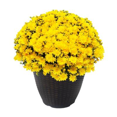 13 in. Chrysanthemum (Mum) Plant in a Decorative Pot with Yellow Flowers