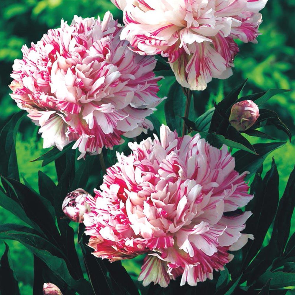 Spring Hill Nurseries Kirinmaru Peony Paeonia Live Bareroot Plant White And Red