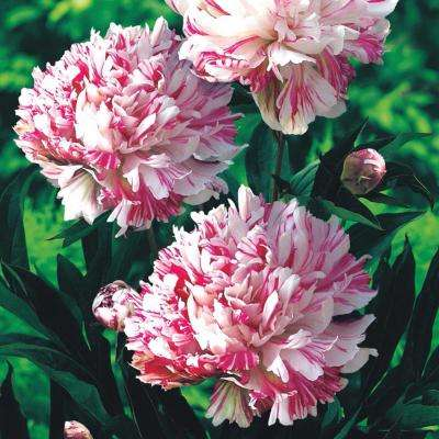 Kirinmaru Peony (Paeonia), Live Bareroot Plant, White and Red Flowering Perennial (1-Pack)
