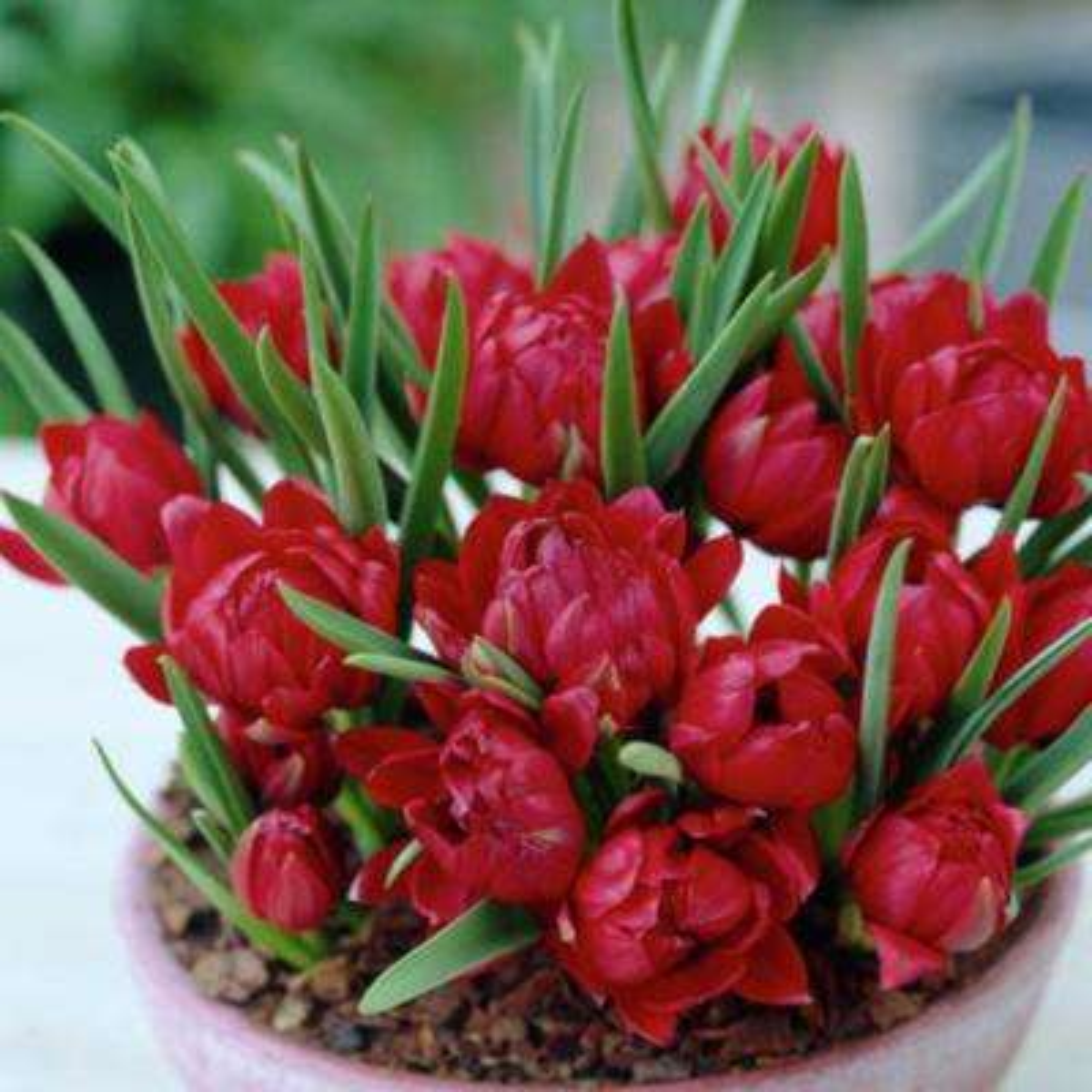 Red Small Talk Crocus LookAlikes Bulbs (12-Pack)