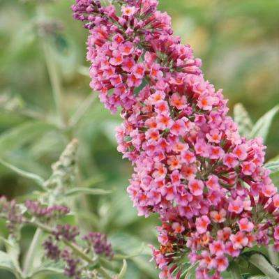 Butterfly Bush Pink Root Stock (1-Set)