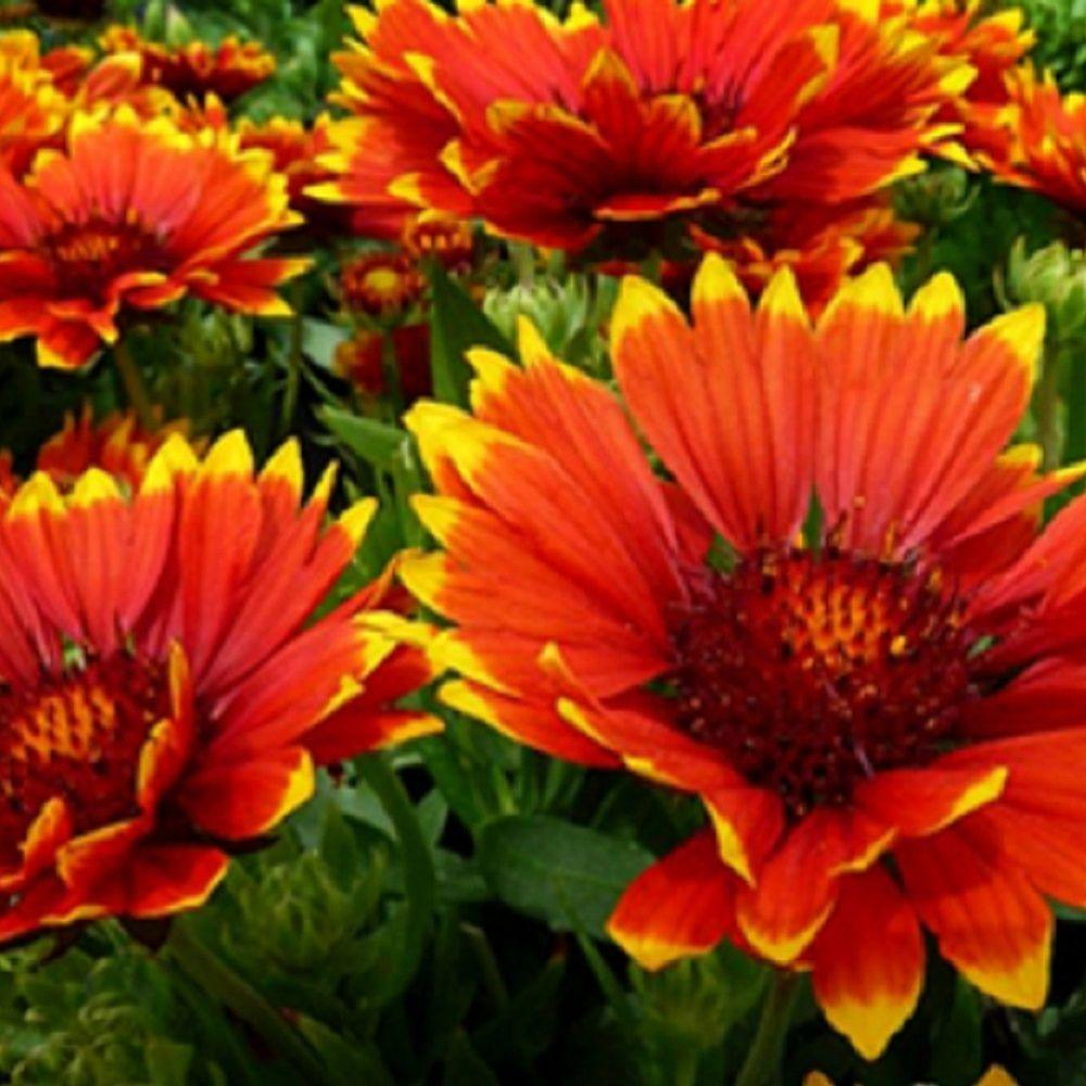 Southern Living Plant Collection 25 Qt Sunset Flash Gaillardia