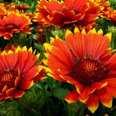 2.5 Qt. Sunset Flash Gaillardia With Yellow Tipped Orange-Red Blooms, Live Perennial Plant
