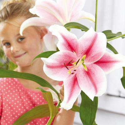 Giant Hybrid Lily Pink Brilliant Bulbs (5-Pack)