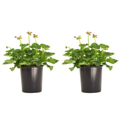 2.5 Qt. Geranium Red Flowers in 6.3 In. Grower's Pot (2-Packs)