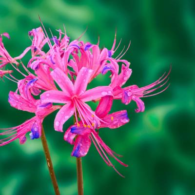 Electric Blue Spider Lily (Lycoris) Bulbs (5-Pack)