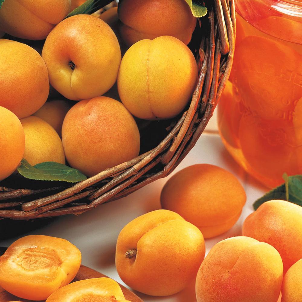 Mandarin Bush Apricot (Prunus) Live Bareroot Fruiting Tree (1-Pack)