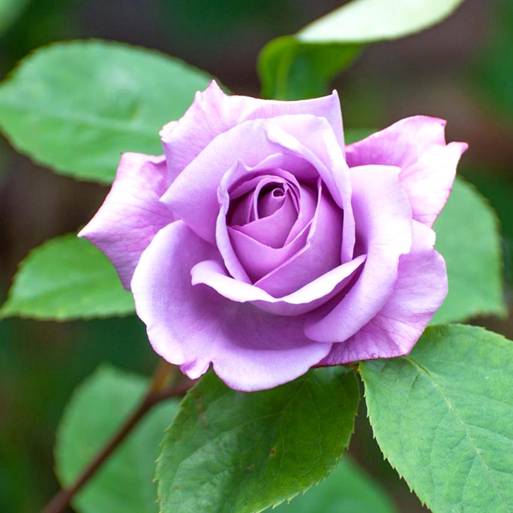 Fragrant Blue Moon Hybrid Tea Rose with Blue-Lavender Flowers