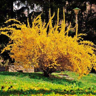 Forsythia Lynwood Gold Root Stock (1-Set)