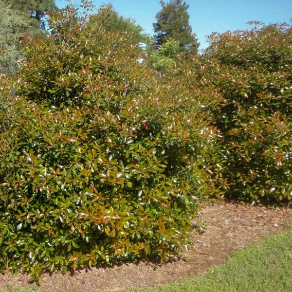 3 Gal. Bronze Beauty Cleyera - Live Compact Evergreen Shrub, Glossy Foliage