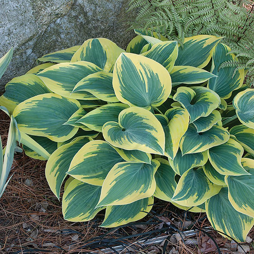 2.5 Qt. Twilight Variegated Hosta Plant