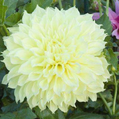 Kelvin Floodlight Dahlia Bulb