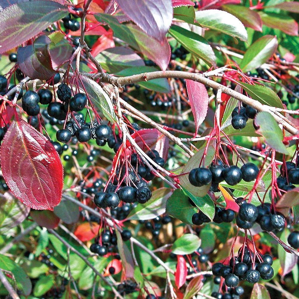 Spring Hill Nurseries Black Chokeberry