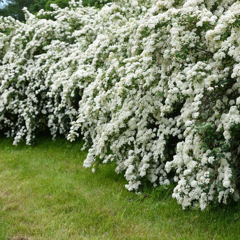 2.25 Gal. Spirea Reeves Flowering Shrub with White Blooms