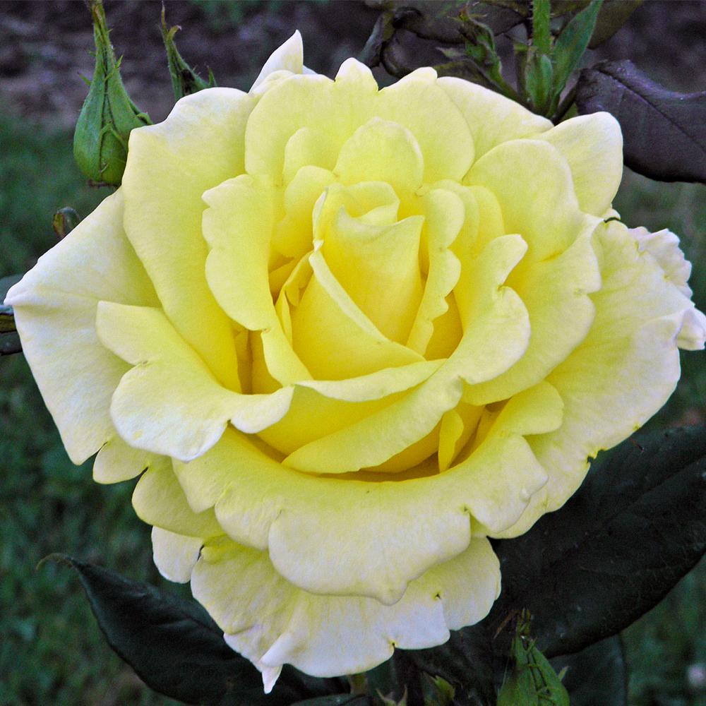 Mea Nursery Fragrant New Day Hybrid Tea Rose with Yellow Flowers was $27.98 now $11.49 (59.0% off)