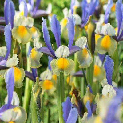 Dutch Iris Bulbs Miss Saigon (Set of 25)