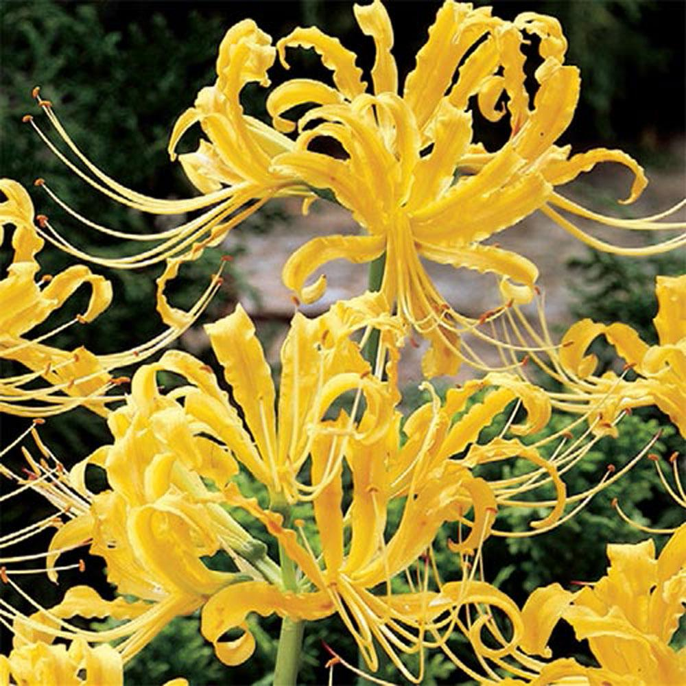 Brecks Golden Spider Lily Lycoris Aurea Bulbs 5 Pack 88383