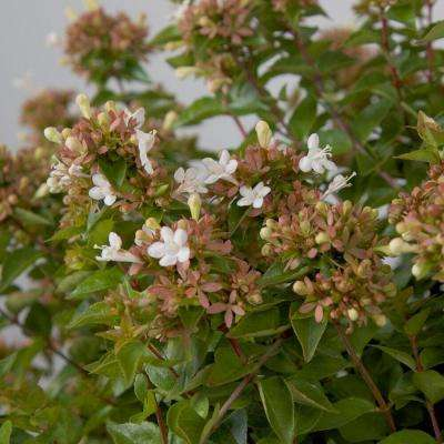 9.25 in. Pot - Rose Creek Abelia With Petite White Blooms, Live Semi-Evergreen Shrub Plant