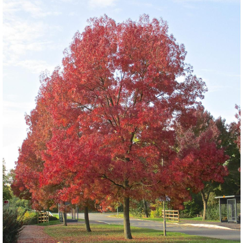 Online Orchards Purple Autumn Ash Tree Bare Root Shrm003