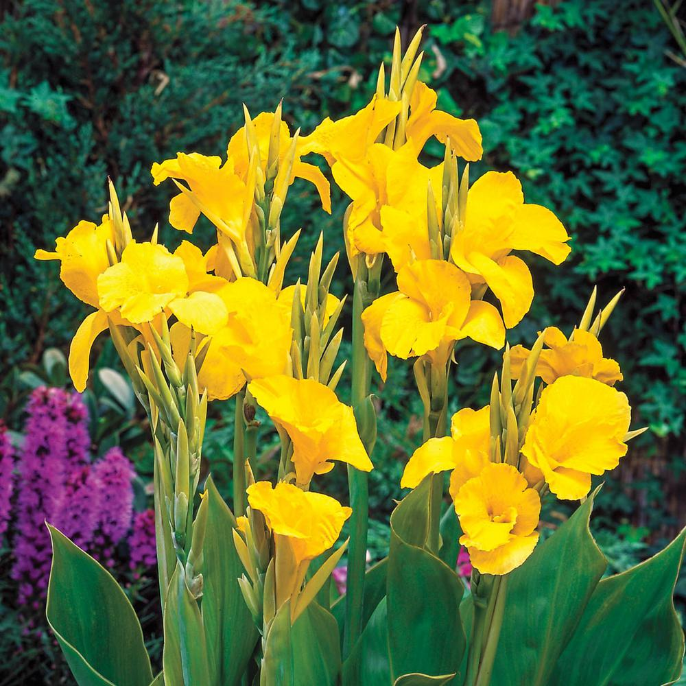 Breck's Yellow Flowers King Humbert Giant Canna Lily Bulbs (5-Pack)