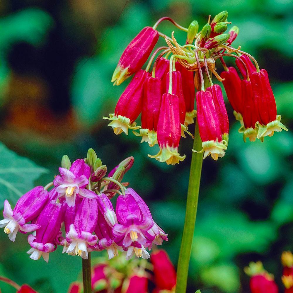 Spring Hill Nurseries Fireer Flower Dichelostemma Multi Colored Bulbs Mixture 20 Pack