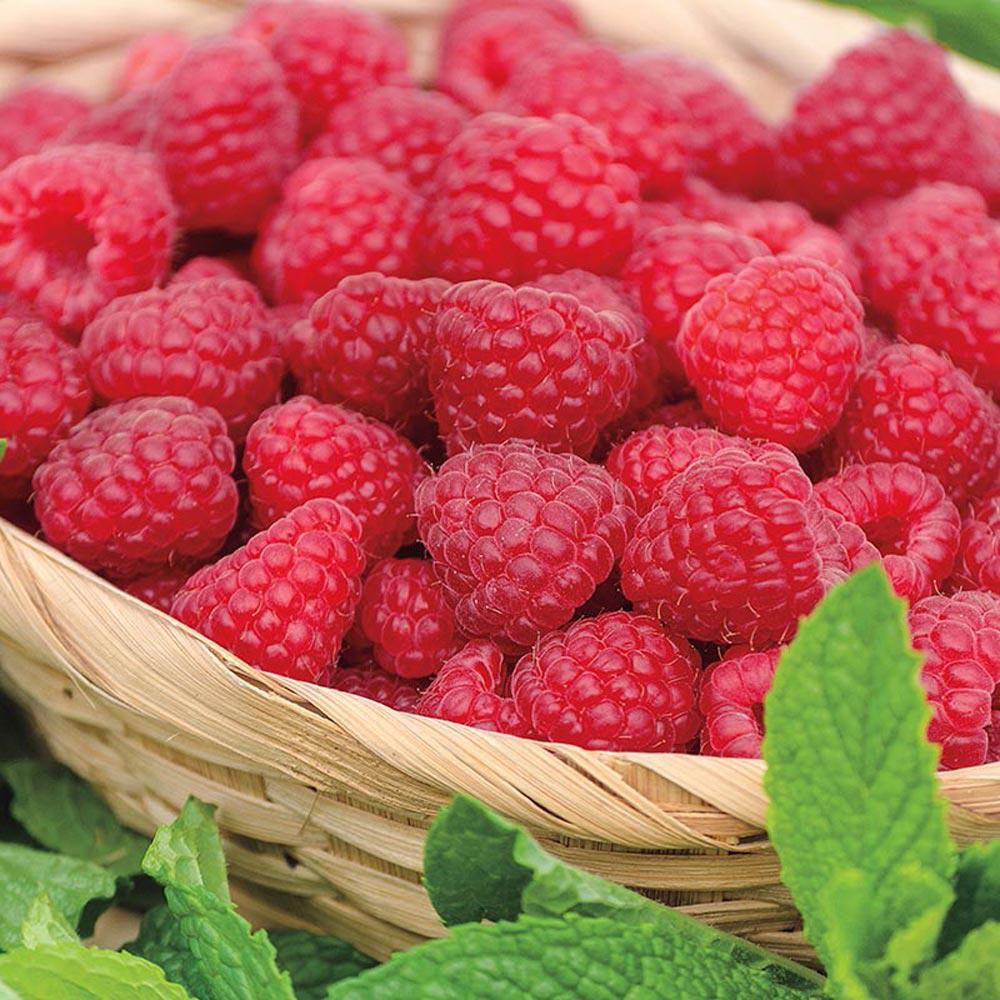 Gurney S Jaclyn Raspberry Rubus Live Bareroot Plant
