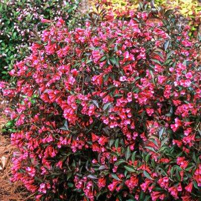 60 in shrubs trees bushes the home depot proven winner wine and rose weigela live bareroot plant pink flowers mightylinksfo