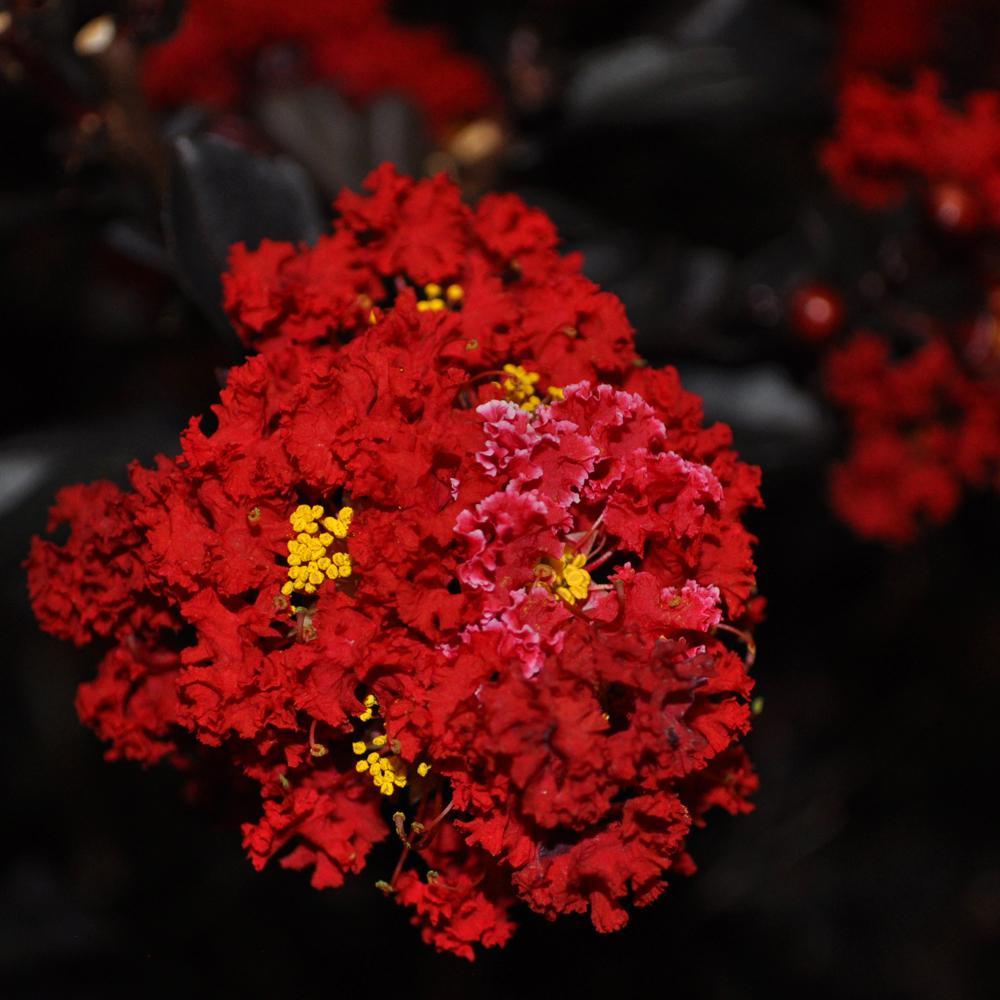 Mea Nursery Black Diamond Best Red E Myrtle Dormant Packaged Tree