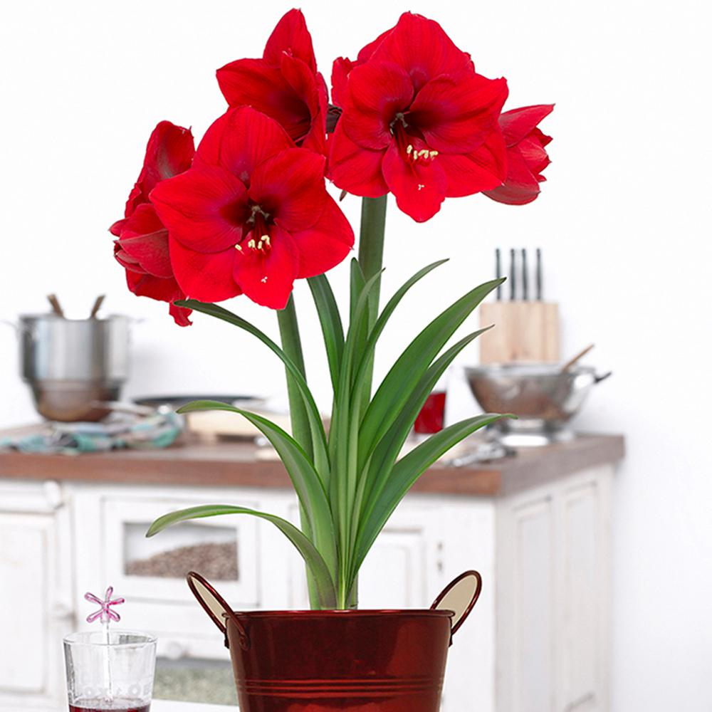 Van Zyverden Amaryllis Kit Bulbs Red Lion Bulbs With