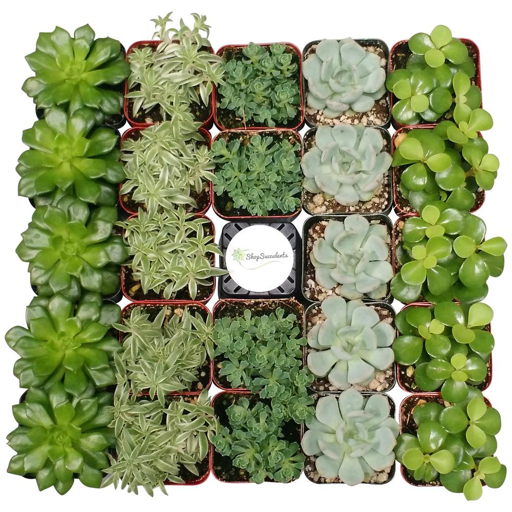 Shop Succulents 2 in. Green Succulent (Collection of 140)